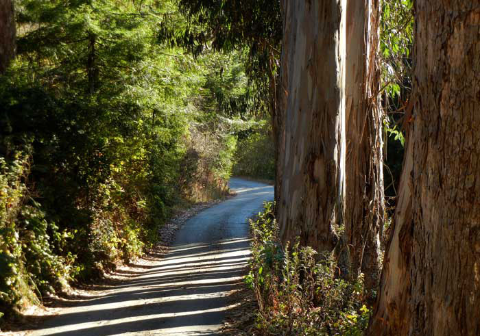 The access road into the Zen Center facility at Green Gulch Farm, lined with eucalypus trees