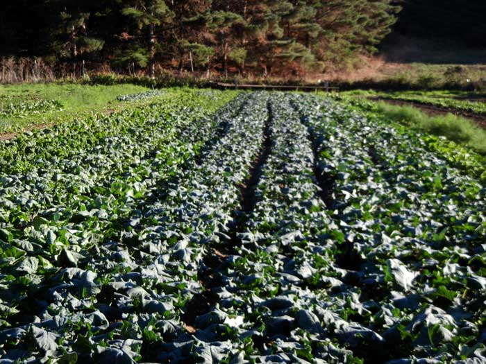 A dense planting of brassicas on the farm at Green Gulch