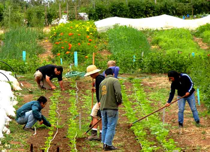 Volunteers working at the UCSC Agroecology farm project in Santa Cruz, California