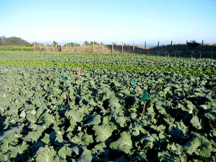 A vast field of broccoli planted at the UCSC Agroecology Program farm in Santa Cruz, California