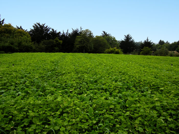 A cover crop of buckwheat growing on the farm at the UCSC Agroecology Program