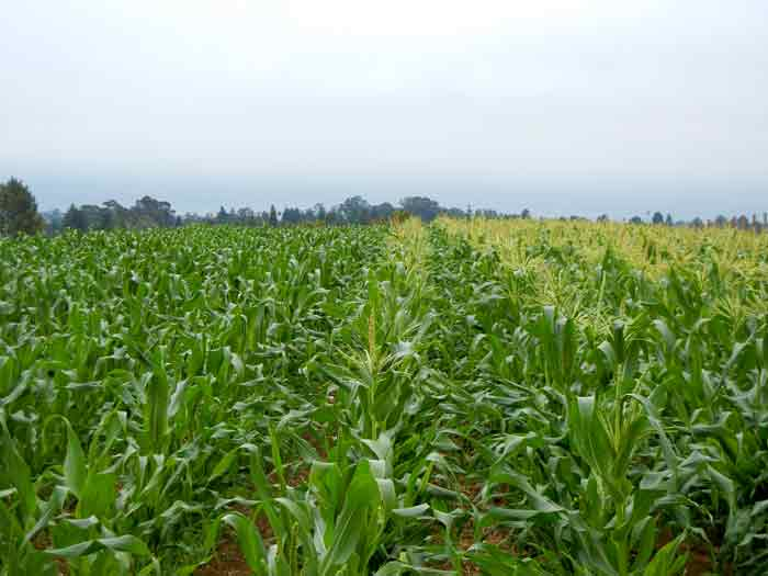 A corn field at the UCSC Agroecology Program farm in Santa Cruz