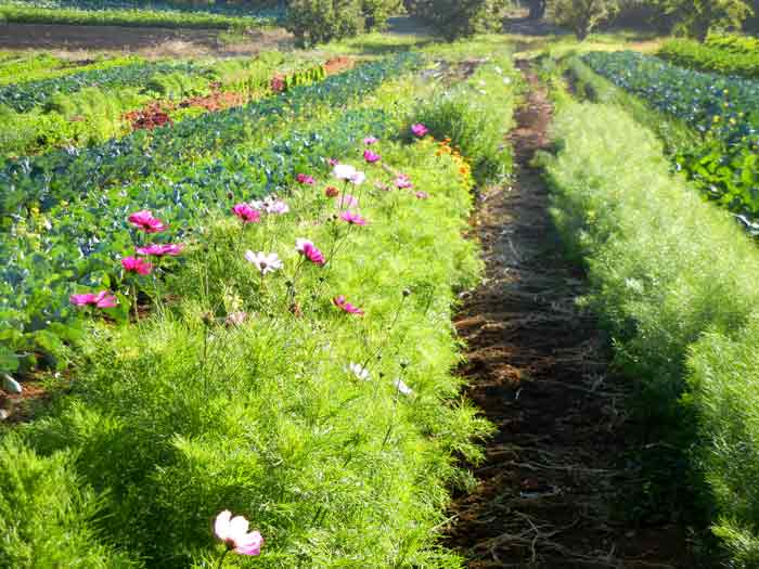A few flower beds add grace to the fields at the UCSC Agroecology Program farm in Santa Cruz