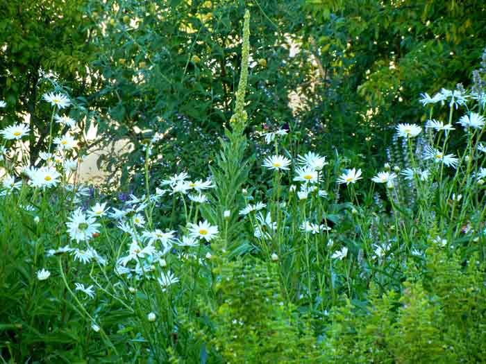An ornimental planting of shasta daisies on the farm at the UCSC Agroecology Program