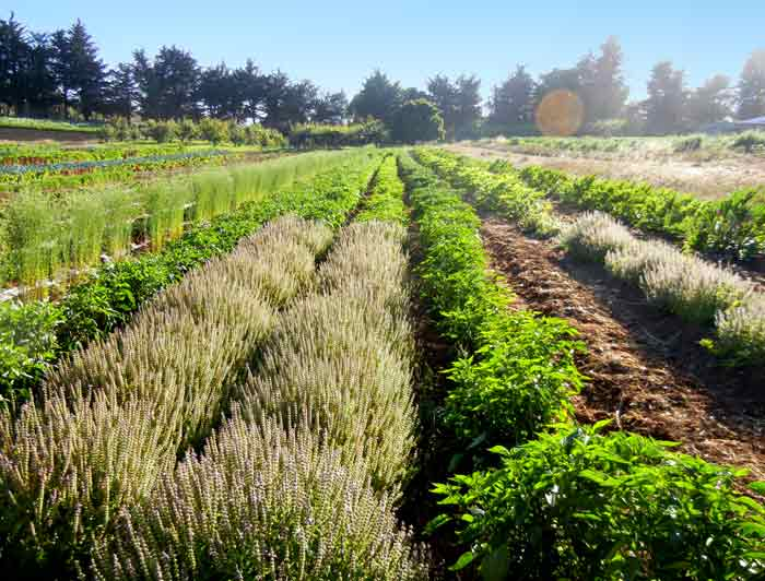 Long beds of various crops stretch to infinity at the UCSC Agroecology Farm Program