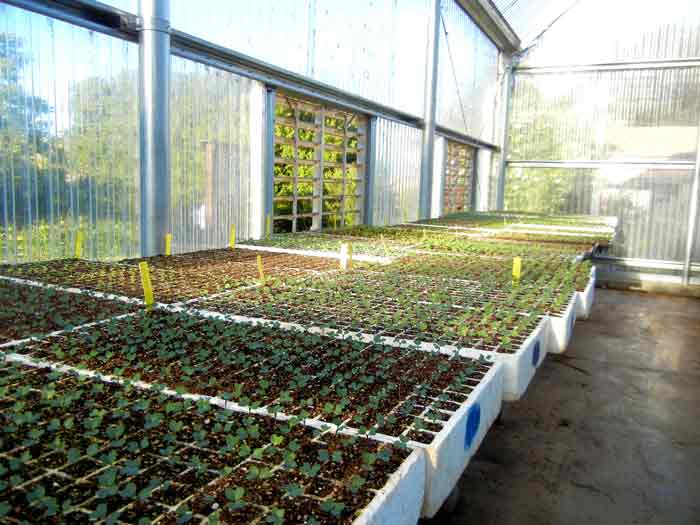 Propagation in progress at the UCSC Agroecology Program farm