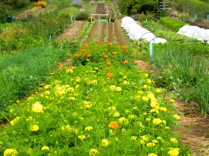 The bright colors of marigolds grace the fields of the farm
