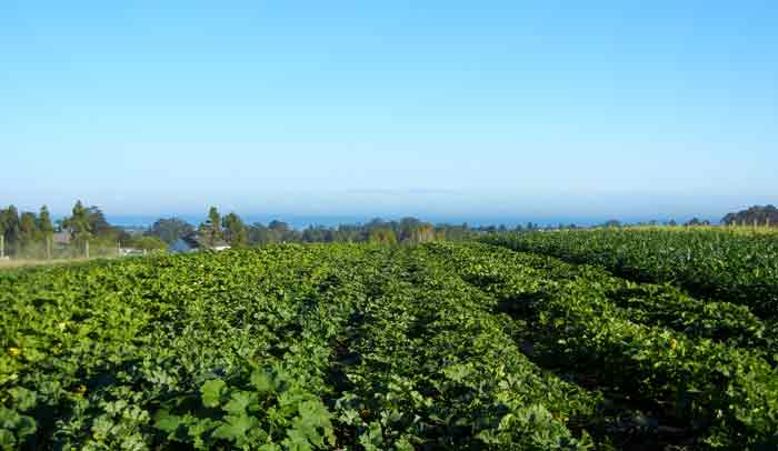 Monterey Bay in the distance beyond vegetable fields at the farm of the UCSC Agroecology Program