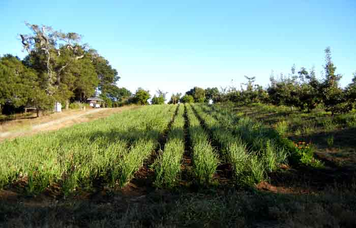 A field of onions growing on the farm of the UCSC Agroecology Program