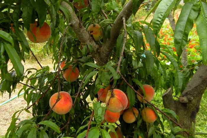 Lucious peaches hanging from the boughs on the farm at UCSC Agroecology Program farm