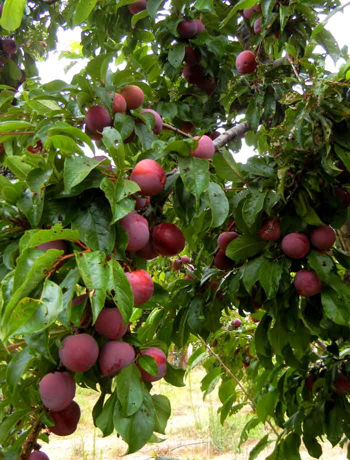 Plum trees full of nearly ripened fruit on the UC Santa Cruz farm operated by the Agroecology Program