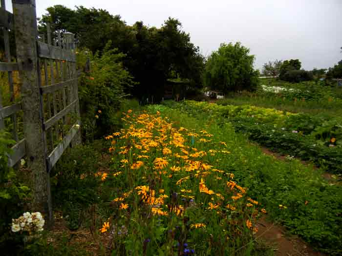 A pleasant little bed of Rudbeckia growing along side of a walkway at the farm of the UCSC Agroecolgy Program