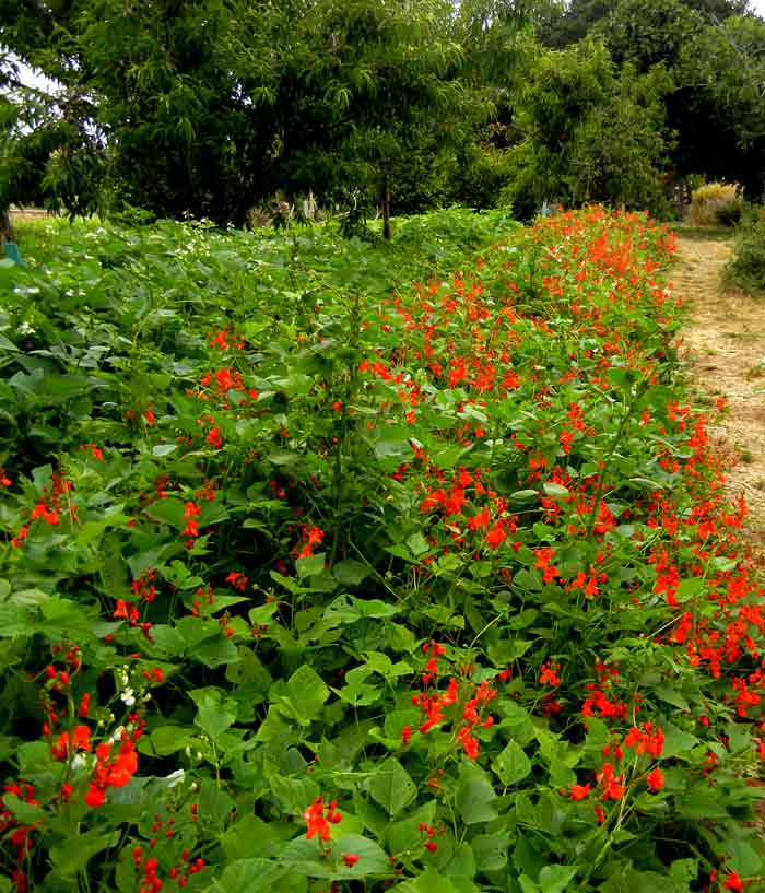 Scarlet Runner Beans adorn a pathway at the UCSC Agroecology farm