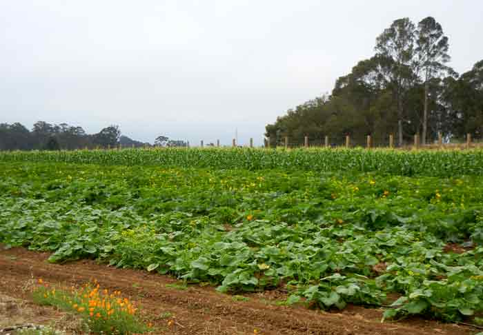 Squash and corn growing side by side at the UCSC Agroecology Program farm in Santa Cruz
