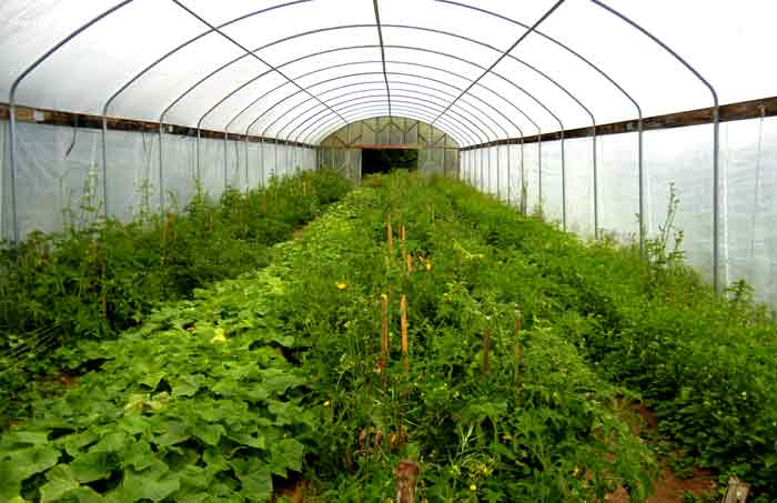 Tomatoes growing within the protection of a greenhouse at the UCSC Agroecology Program farm