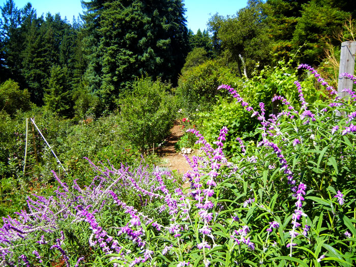 The path in the main garden of the UCSC Alan Chadwick Garden