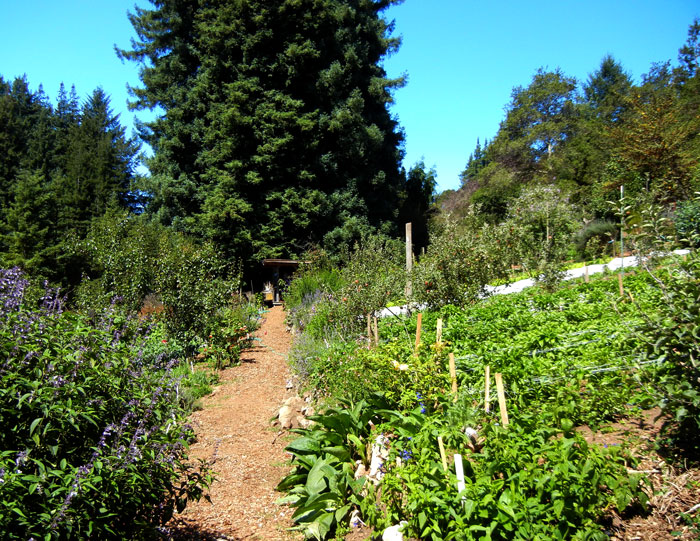 Another view down the path of the main garden in the Alan Chadwick UCSC garden