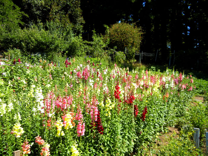Snapdragons in the Alan Chadwick Garden at UCSC