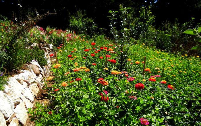 Zinnias growing in the Alan Chadwick Garden at UCSC