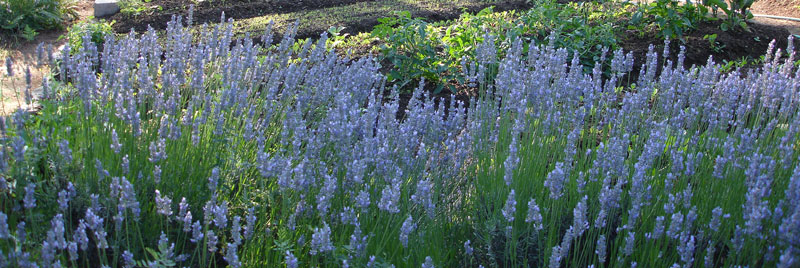 A bed of lavender on the border of the garden, grown in the manner of Alan Chadwick