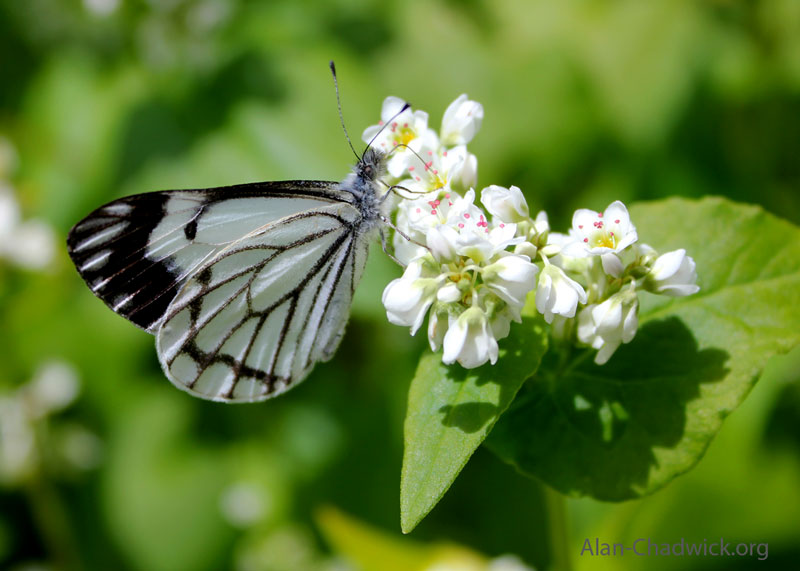 the marginalis butterfly on a buckwheat flower