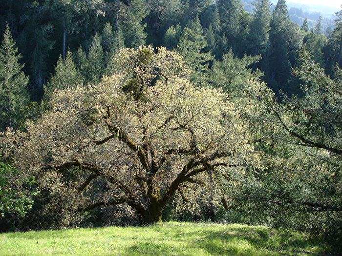 Spreading Oak Tree near the coast of Northern California
