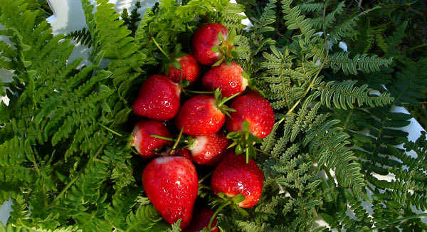 strawberries on a bed of bracken fern
