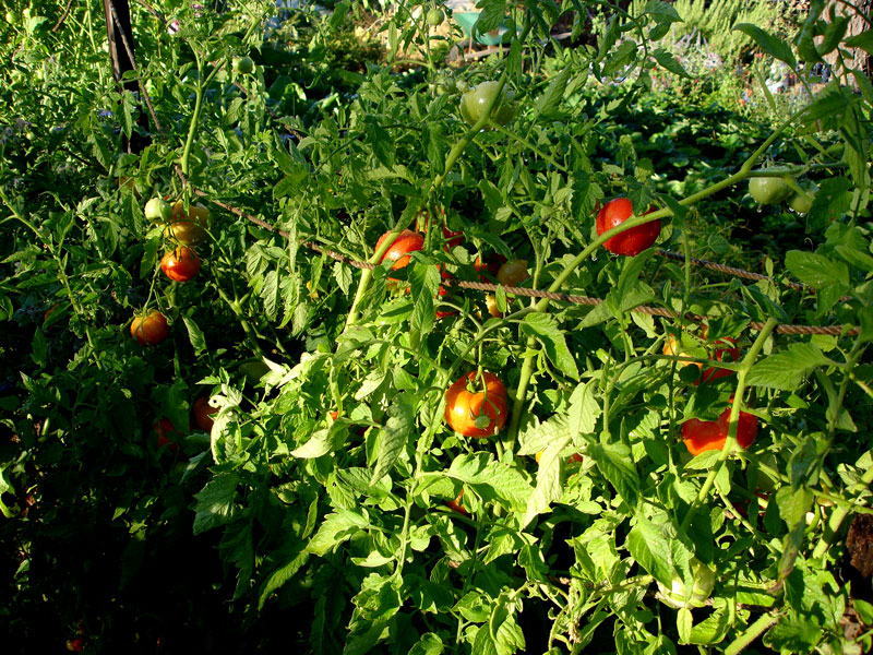 Tomatoes grown according to the Alan Chadwick method of French Intensive Biodynamic gardening